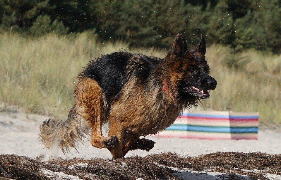 Altdeutscher Schäferhund beim rennen