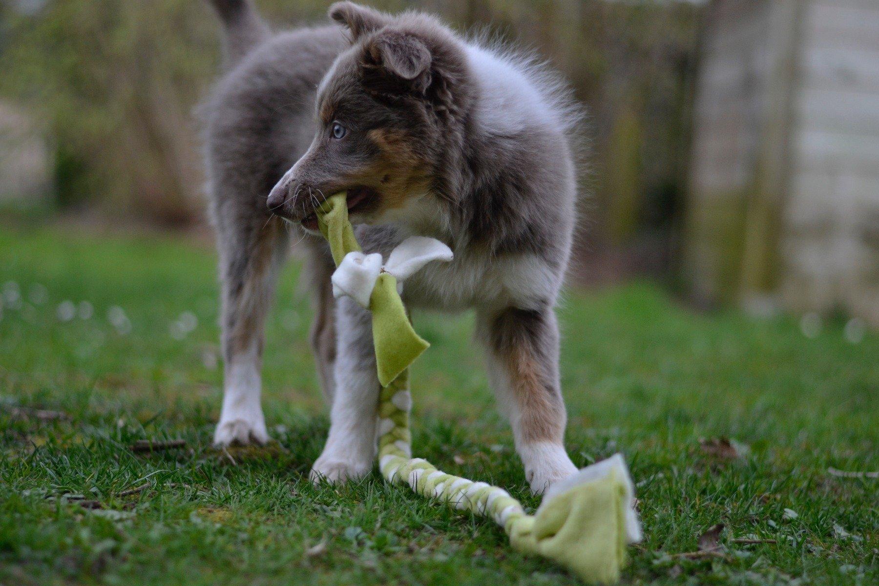 Aussie-Welpe mit selbstgebasteltem Hundespielzeug im Maul