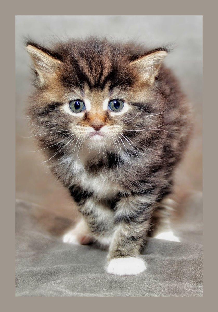 Grau getigertes plüschiges Katzenkind