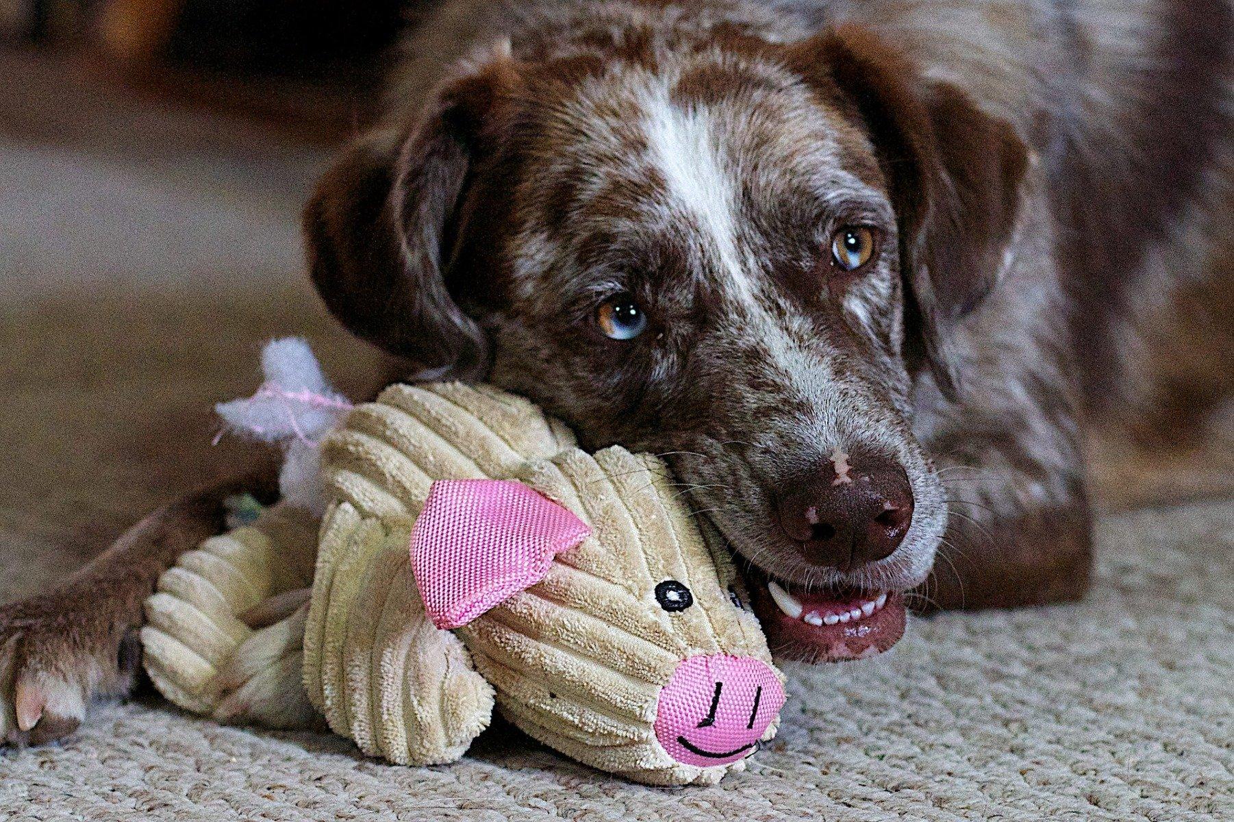 Hund kauend auf Spielzeug-Schwein