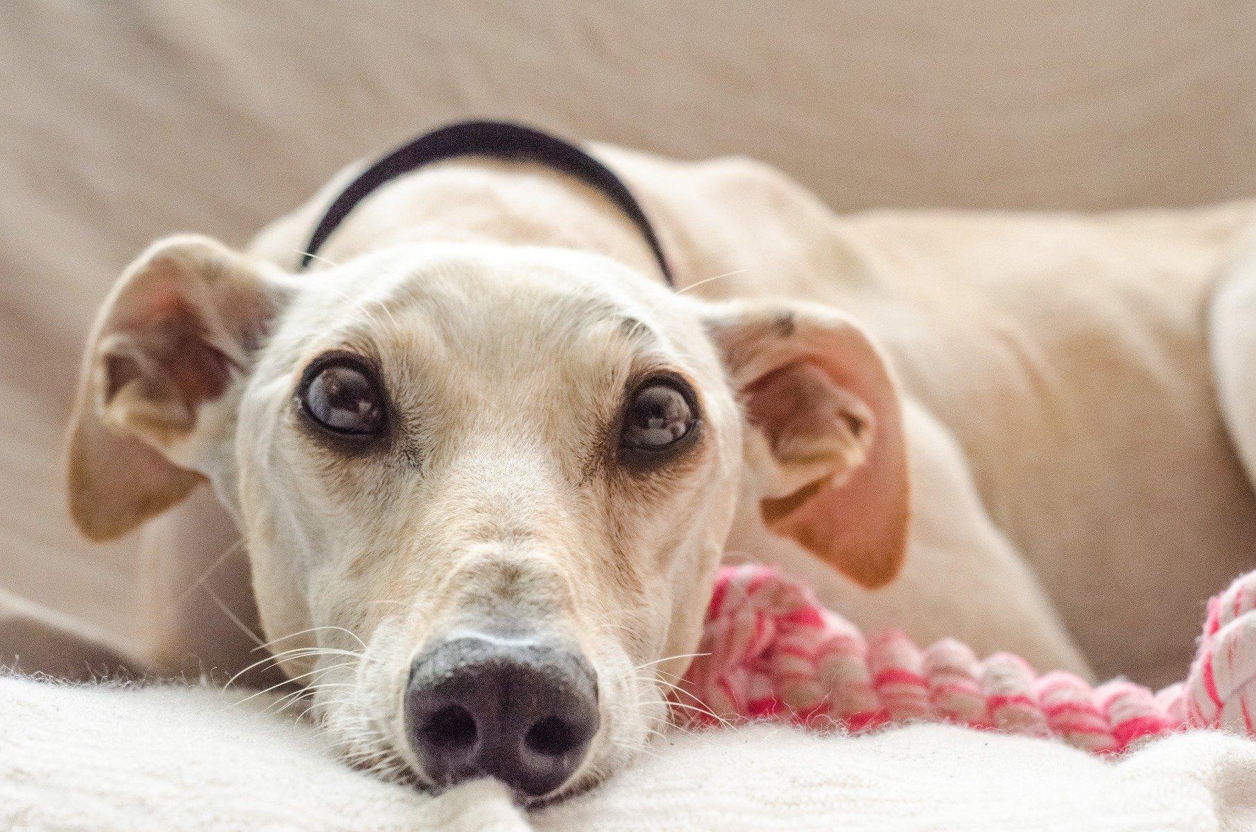 Hund liegt mit Spielzeug im Körbchen