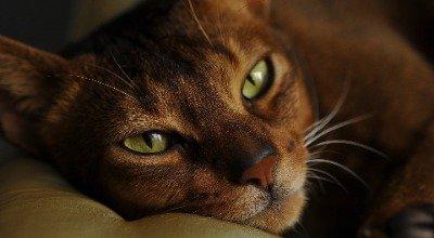 Abessinier Katze – anhänglich und abenteuerlustig
