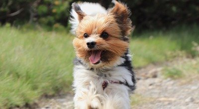Klein aber Oho: Der Biewer Yorkshire Terrier