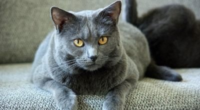 Blaues Fell und sanfter Charakter: die Chartreux