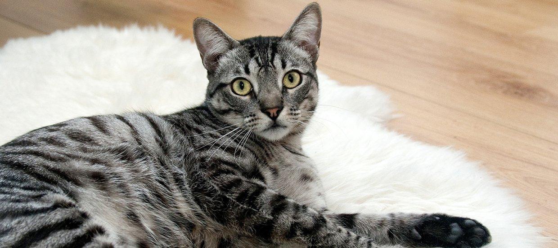 Das Coronavirus: auch eine Gefahr für Ihre Katze?