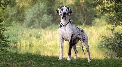Sanftmütiger Riese – Dänische Dogge im Rasseporträt