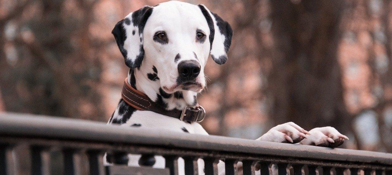 Rasseportrait Dalmatiner – Wichtige Punkte zum Punktehund