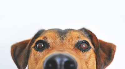 Flöhe beim Hund – Wie Sie die ungebetenen Gäste schnell wieder loswerden