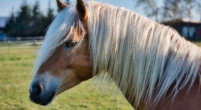 Heucobs füttern – Tipps für die Fütterung von Heucobs beim Pferd