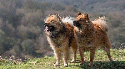 Eurasier: Moderner Familienhund im Urtyp