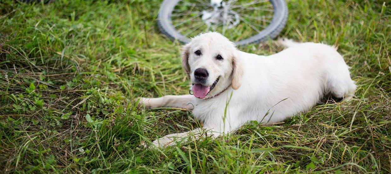 Fahrradfahren mit Hund will gelernt sein