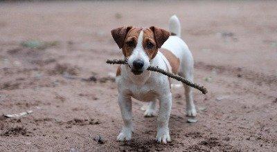 Der Jack Russell Terrier