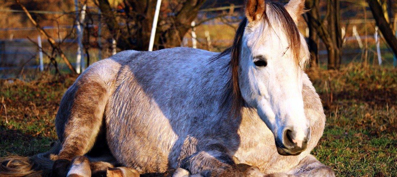 Kolik beim Pferd – Alarm im Darm!