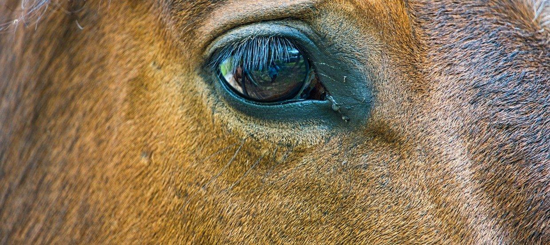Magengeschwüre beim Pferd – Weit verbreitet und selten bemerkt