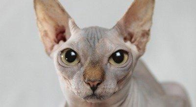 Katzen, die nicht haaren – Hilfe bei Katzenallergie?