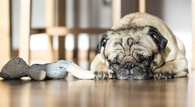 Scheinträchtigkeit beim Hund: Was können Sie tun, wenn Ihre Fellnase glaubt, Welpen zu haben?