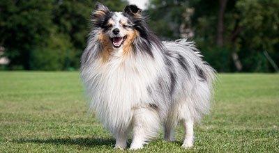 Rasseprofil: Sheltie / Shetland Sheepdog