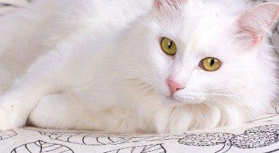 Die Türkisch Angora Katze, eine majestätische Schönheit