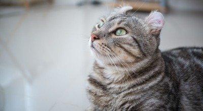 Schau mir auf die Ohren Mensch – die American Curl Katze
