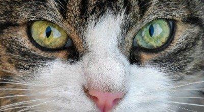 Wenn bei Ihrer Katze das Auge tränt – Ursachen und Behandlung