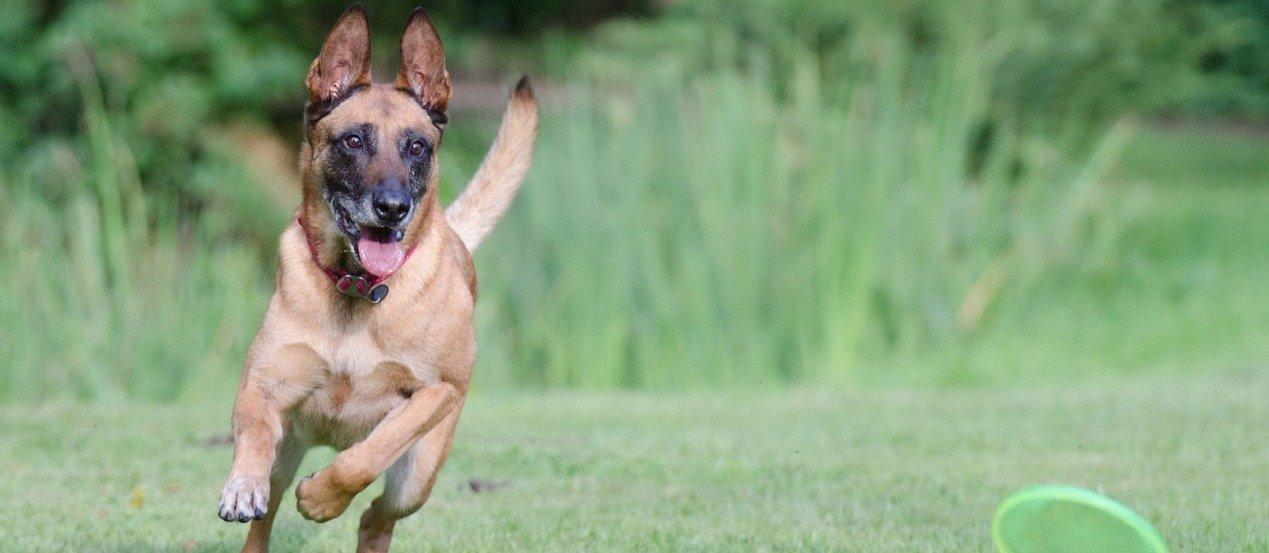 Belgischer Schäferhund: Der intelligente Workaholic
