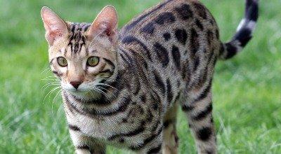 Ein kleiner Wildfang: Die Bengalkatze