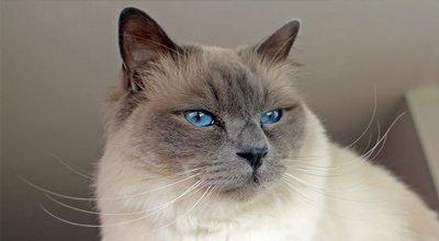 Die Birma-Katze im Rasseporträt