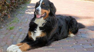 Der Berner Sennenhund: Freundlicher und gutmütiger Familienhund