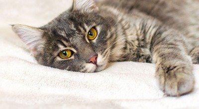 Darmverschluss bei der Katze: immer ein Notfall