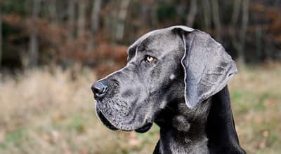 Die Deutsche Dogge