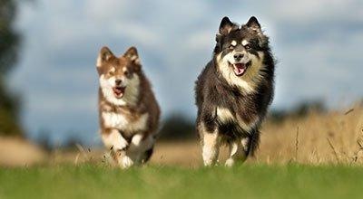 Finnischer Lapphund:  Naturliebender und aktiver Vierbeiner aus dem hohen Norden