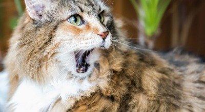 FORL – wenn Ihre Katze zum Zahnarzt muss