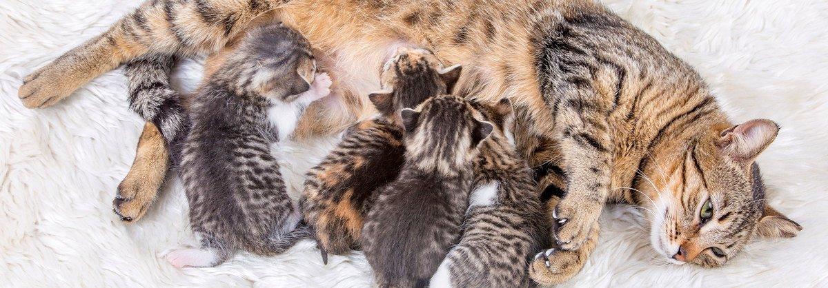 Trächtigkeit bei Katzen: Anzeichen, Pflege und Geburtsvorbereitung