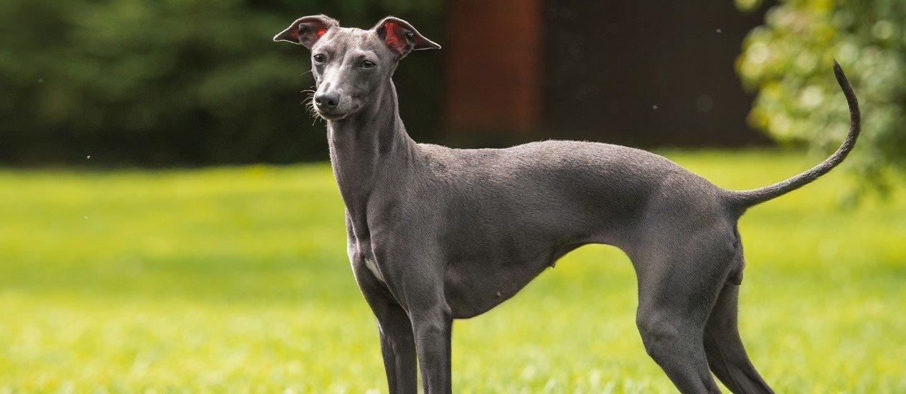 Rasseportrait: Greyhound - Erziehung, Haltung & Beschäftigung der eleganten Windhunde
