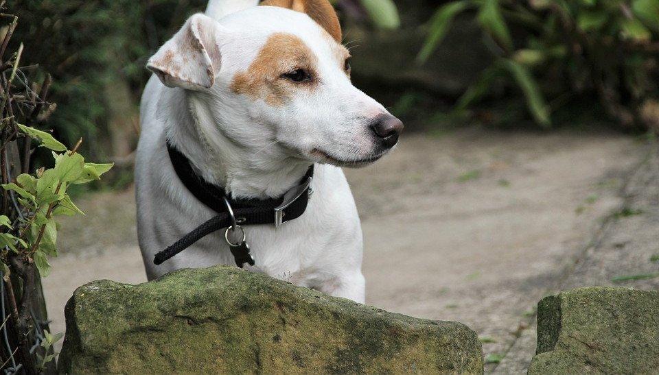 Borreliose beim Hund: Informationen über Symptome, Verlauf und Maßnahmen