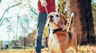 Ihr Hund zieht an der Leine - So trainieren Sie die Leinenführigkeit