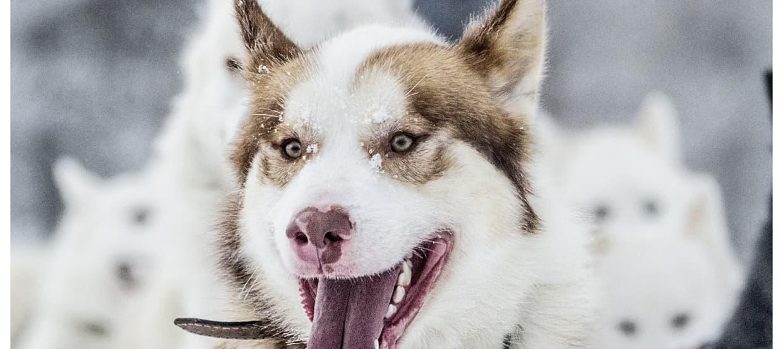 Der Husky: Eine besondere Hunderasse