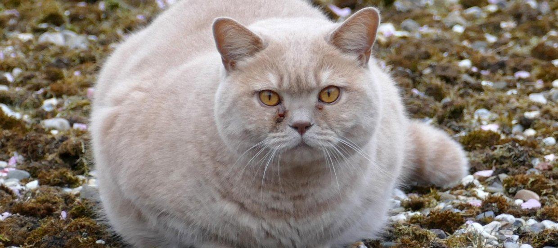 Ist Ihre Katze zu dick? So gehen Sie gegen das Gesundheitsrisiko vor