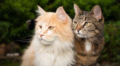 Katzen zusammenführen: Hilfreiche Tipps und Tricks