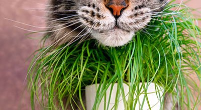 Die Lieblingspflanze aller Samtpfoten: Katzengras