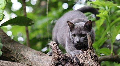 Die Korat-Katze im Rasseporträt
