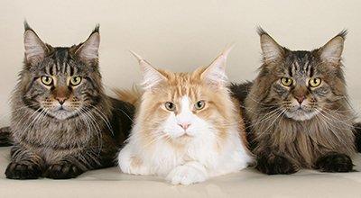 Maine Coon Katzen: Die größten Rassekatzen der Welt
