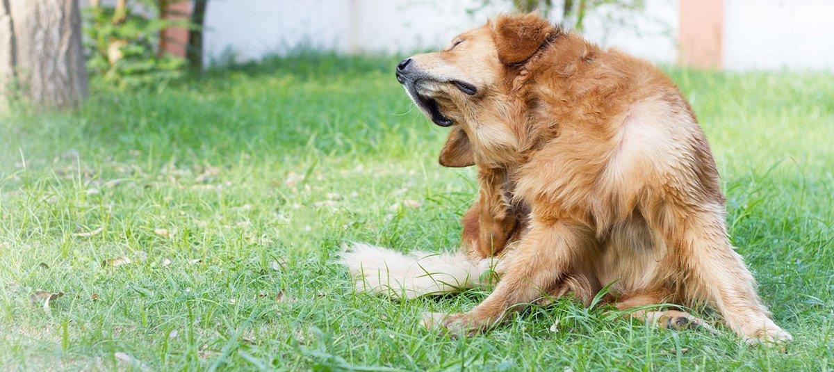 Ohrenentzündung beim Hund: Hausmittel oder gleich zum Tierarzt?
