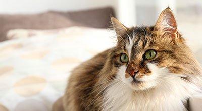 Immer lästig, oft schmerzhaft, manchmal gefährlich: die Ohrenentzündung bei der Katze