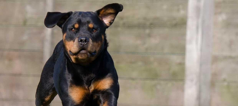 Rottweiler: Der vielseitig einsetzbare Schutz- und Familenhund