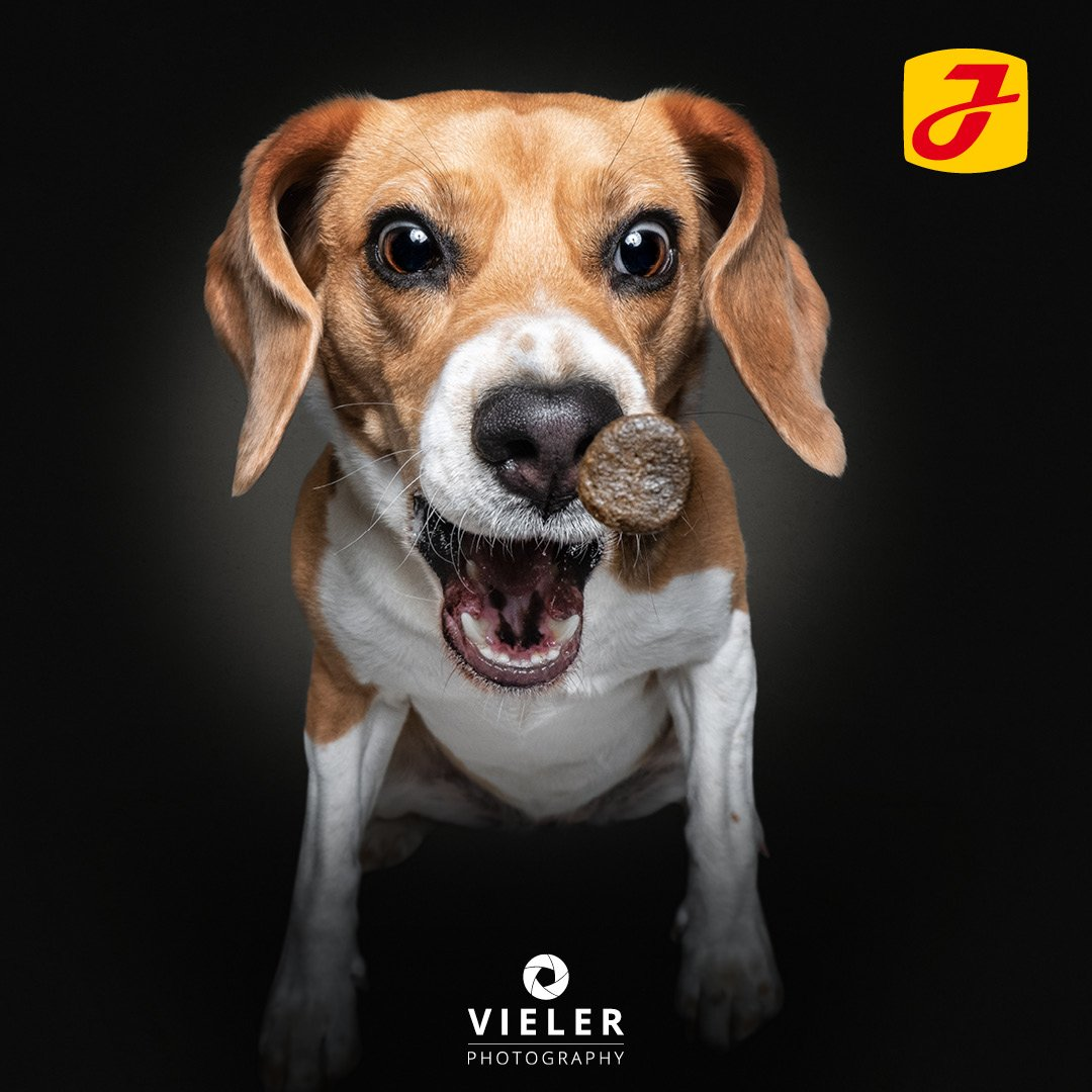 beagle-vieler-schnappschuss