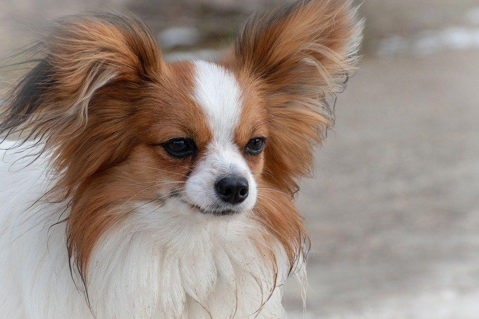 Zweifarbiger Langhaar-Chihuahua in der Flegelphase