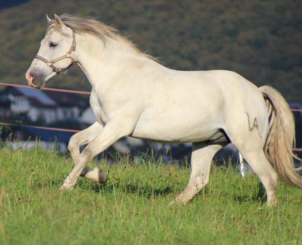 weißes Pferd rennt auf einer Koppel