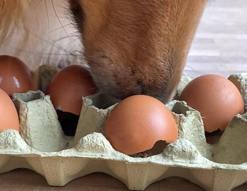 Nase eines Hundes schnüffelt in einem Eierkarton nach Leckerlis