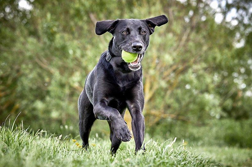 Laufender Hund auf einer Wiese mit Gegenstand
